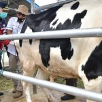 Gubernur Apresiasi UPTD IBI Saree Tangani Sapi